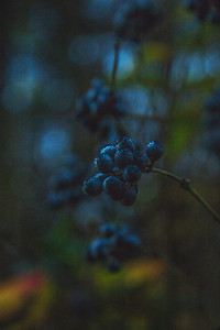 Winter Grape