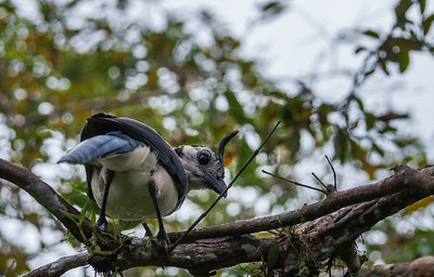 White-throated magpie-jay / Urraca copetona