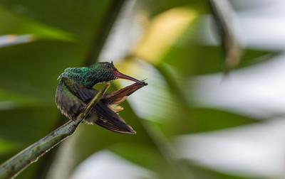 Rufous-tailed Hummingbird / Colibrí Amazilia Rabirrufa