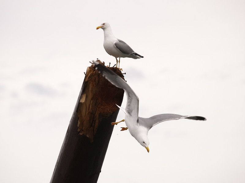 Yellow-legged Gull/ Gaviota Patiamarilla