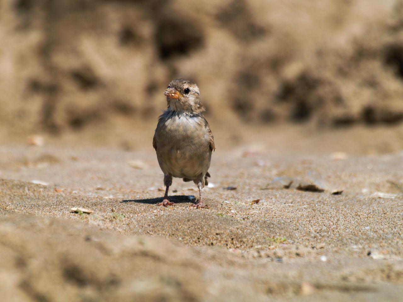 Sparrow (female) / Gorrión Común (hembra)