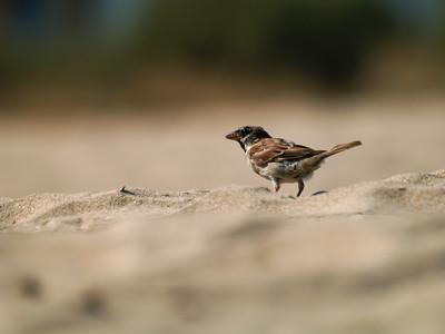 Sparrow (male) / Gorrión Común (macho)
