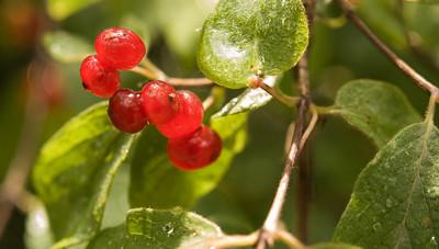 Berries / Bayas