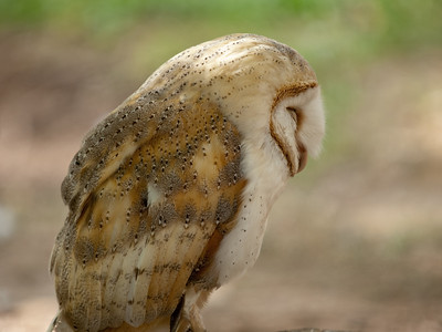 Barn Owl / Lechuza Común