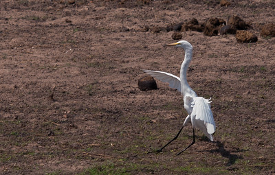 Great White Heron (young) / Garceta Grande (joven)