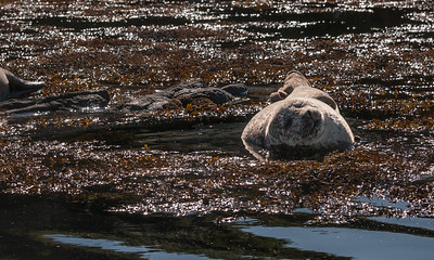 Seals at Dunvengan Castle