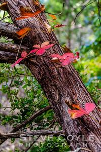 Cedar Fall