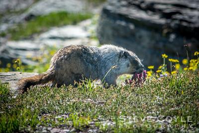 Marmot Munching