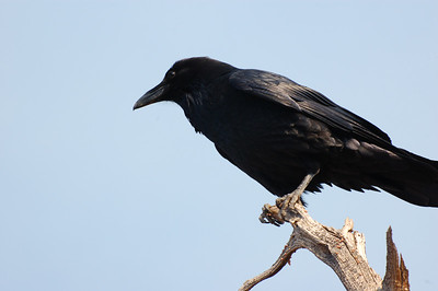 Crow Perch