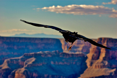 Crow Flies Over the Grand Canyon
