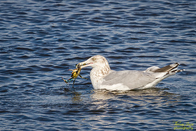 Ring-billed Gull (3rd Winter) With Blue Crab