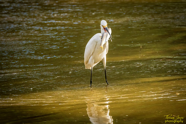 Now, That's A Mouthful!; Snowy Egret With Atlantic Menhaden; Chincoteague NWR