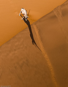 Oryx Contemplating