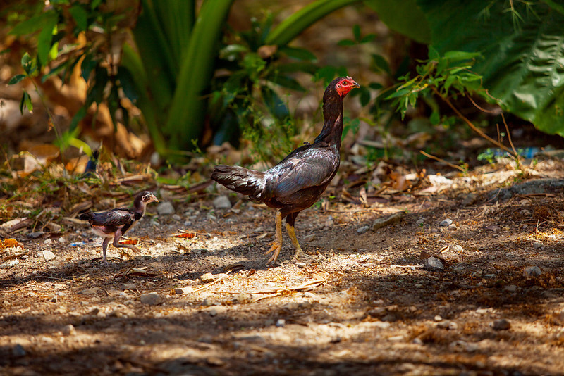 Turkey-hen. Phuket, Thailand