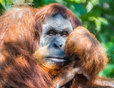 Peaceful Orangutang