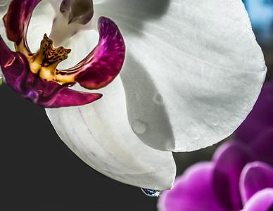 Orchid Sunstar