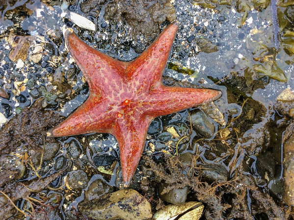 Starfish POW orange