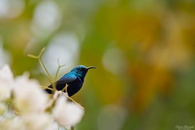 Purpursolfågel ♂