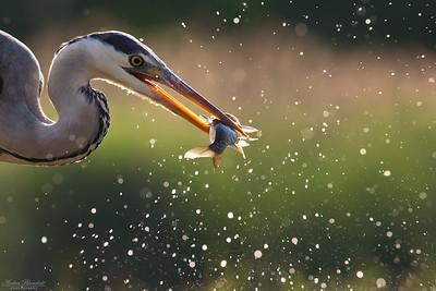 Gråhäger med fisk i motljus