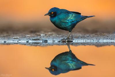 Cape Glossy Starling i ett gyllene morgonljus