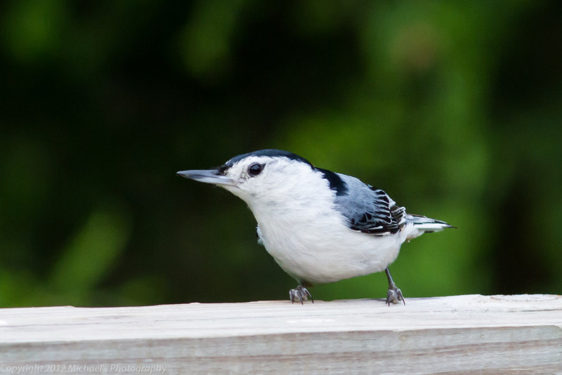 White Breasted Nuthatch-Monroe County Missouri