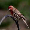 House Finch-Marion County Missouri