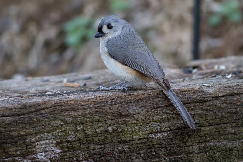 Tufted Titmouse-Marion County Missouri