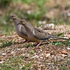 Mourning Doves-Marion County Missouri