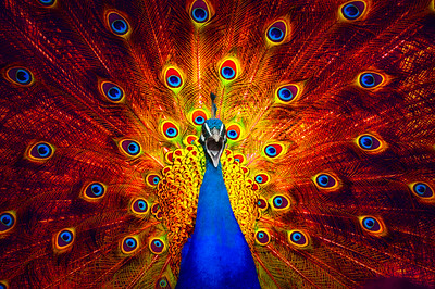Fire Dance |  Colorful Peacock
