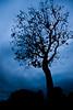 Ominous Shenandoah tree before sunrise