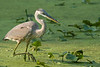 Great blue heron hunts in marshy wetlands for fish and frogs early in the morning