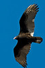 A turkey vulture soars above.