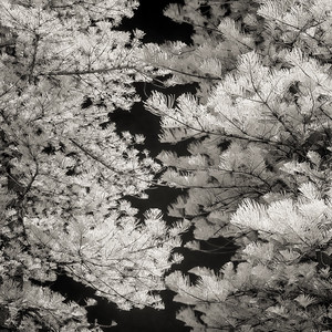 Norfolk Pines Infrared