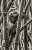 Golden Monkeys - Volcaneos National Park, Rwanda