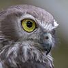 Barking Owl Profile