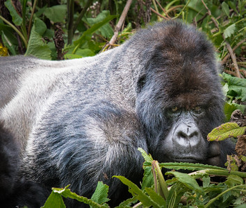 Silverback - Susa Group