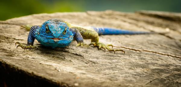Lizard at Ndali Lodge