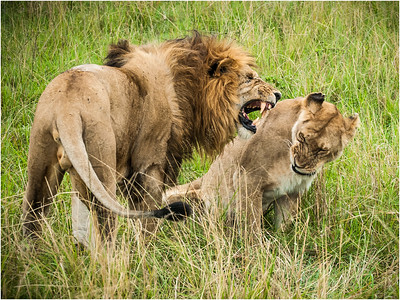 Lions on the Mara
