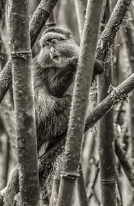 Golden Monkeys - Volcaneos National Park, Rwanda