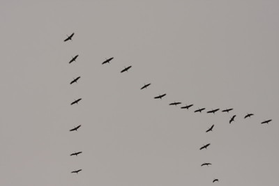 Sandhill Cranes over Winfield 2