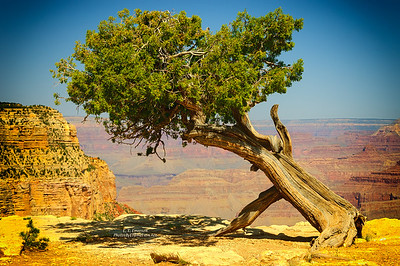 Tree on South Rim