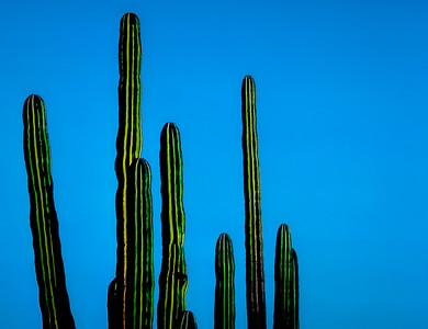 Cardon, Cataviña, Baja California
