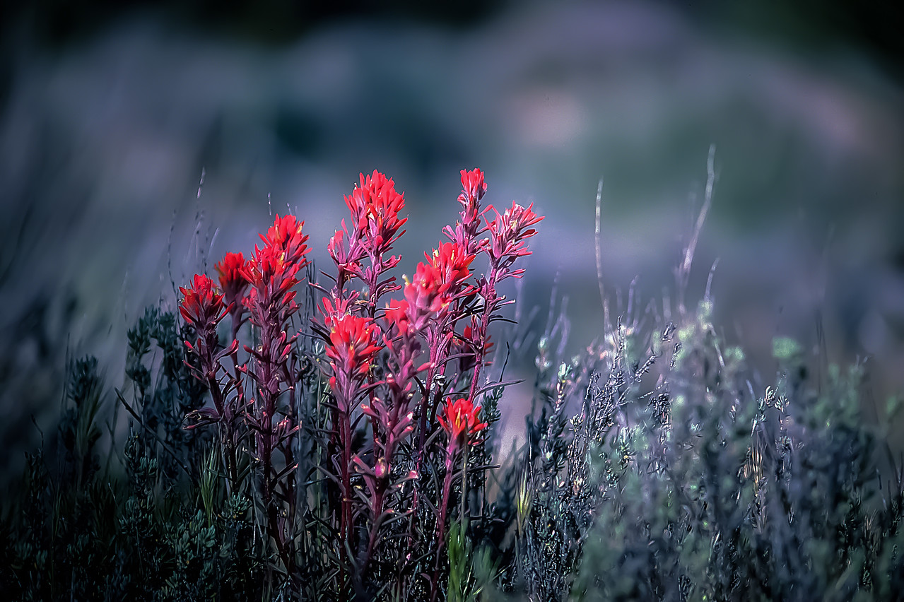 Indian Paintbrush in Baja California, Mexico