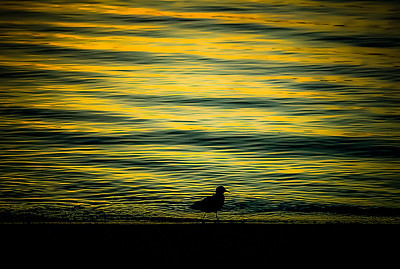 Sunrise Sandpiper, Mar de Cortez