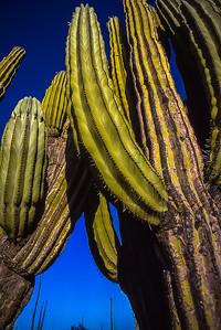 Cardon Cactus, Baja California, Mexico
