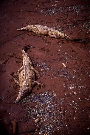 Crocodiles in the Tárcoles River, Costa Rica