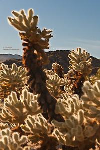 Backlit Cholla in Joshua Tree NP