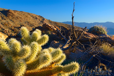 Anza-Borrego DSP Cholla in Early Morning