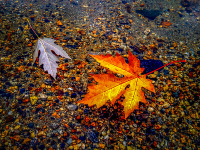 Fall Leaves, Liberty Lake, Washington