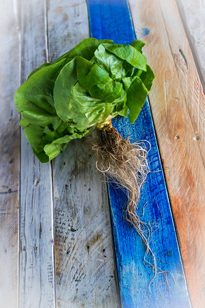 Butter Lettuce from C and S Hydro Huts a family-run hydroponic farm offering nutritious, high quality, fresh greens to local residents and businesses 365 days a year.